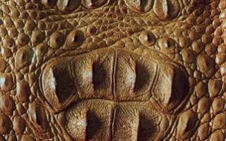 Как отличить кожу крокодила, каймана и аллигатора от подделки?