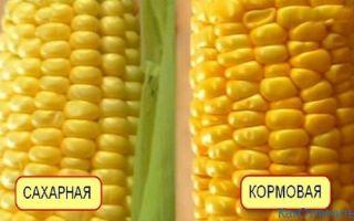 Как отличить кормовую кукурузу от пищевой