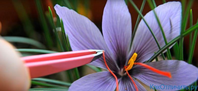 Рыльца цветка шафрана собирают вручную