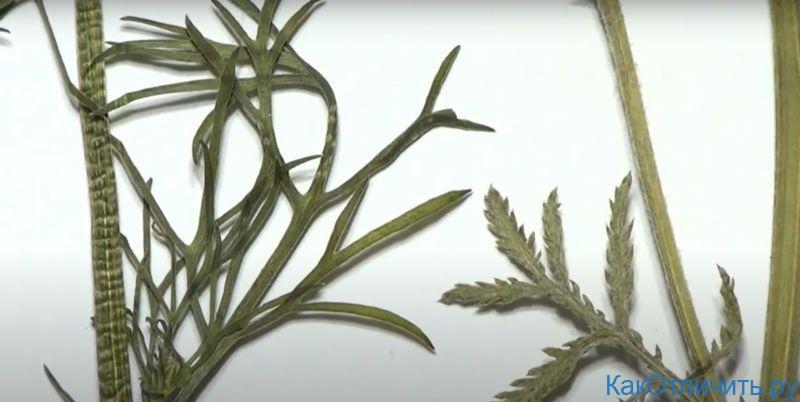 Слева - лист ромашки аптечной, справа - лист пупавки красильной