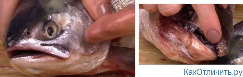 Самка и самец горбуши отличия